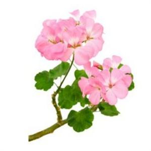 andio-geranium-illoolaj-300-300