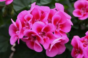 GERANIUM FLOWER FAIRY ROSE