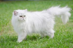 chat-persan-blanc12