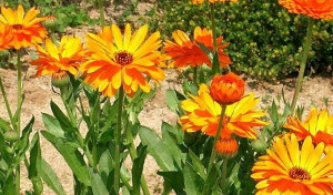 calendula-herbal-remedy-img-e1473766604468