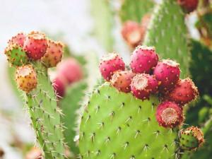 732x549_THUMBNAIL_Nopal_Cactus