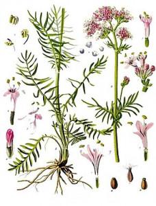 290px-Valeriana_officinalis_-_Köhler–s_Medizinal-Pflanzen-143