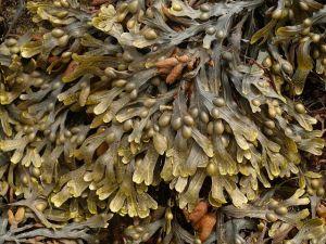 brown_seaweed_bladder_wrack_fucus_vesiculosus_12-07-10_1