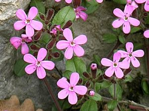 1662-saponaria-ocymoides_1320923164