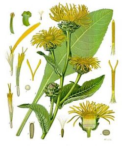 290px-Inula_helenium_-_Köhler–s_Medizinal-Pflanzen-210