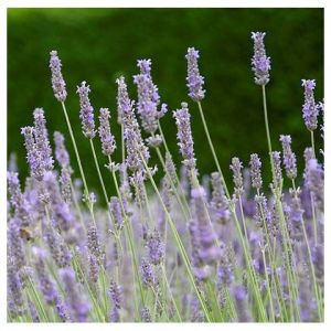 lavandula-x-intermedia-fragrant-memories-lavandin-parfume